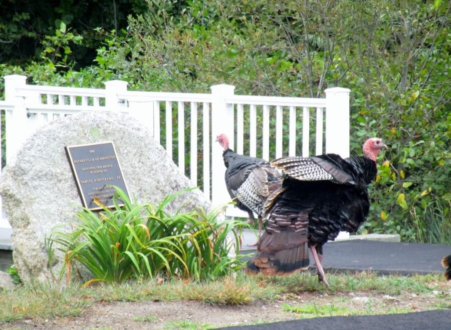 Abington turkeys cross the Samuel Hurvitz bridge after appreciating the Rotary Club plaque in his honor.