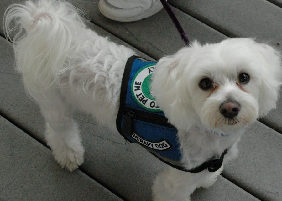 Many colleges and universities are using Therapy Dogs during finals week to help comfort students and get their minds off of the rigors of testing and to help students handle stress. Some high schools, including a few in Massachusetts, have turned to comfort pets  like this one used in Florida by FEMA following Hurricane Charley in 2004.