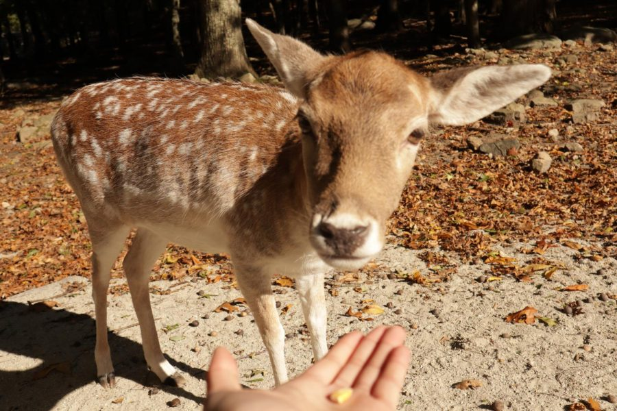Feeding one of the deer at Southwick's Zoo