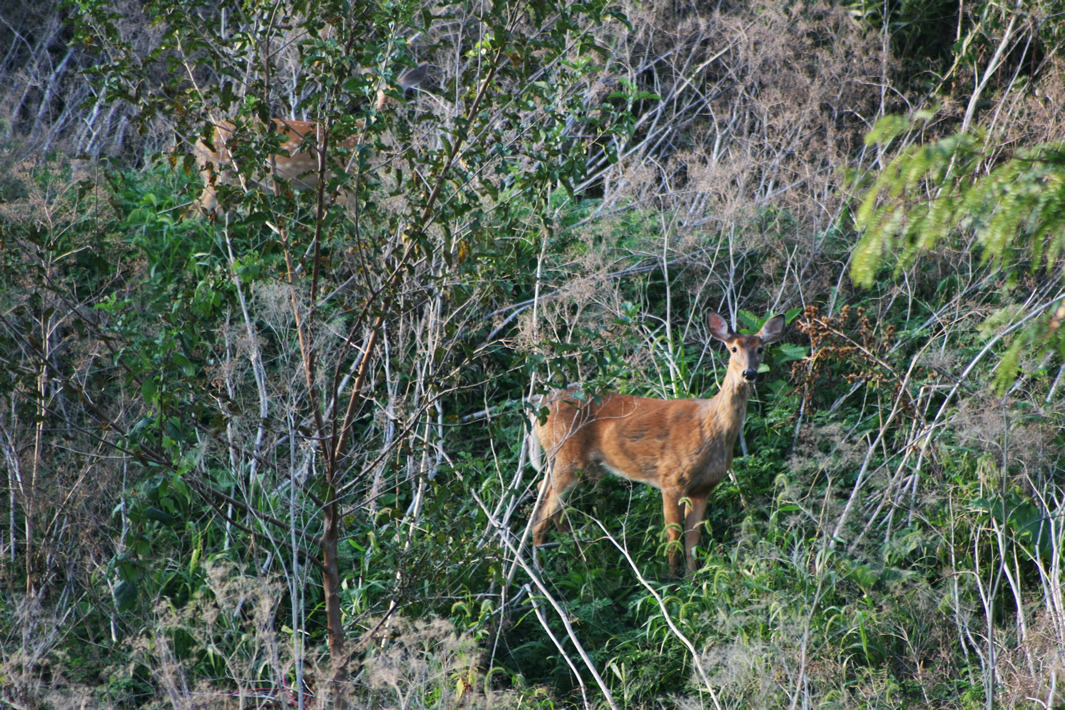 A deer in the midwest region of the United States  with chronic wasting disease. Photo taken September 4, 2019