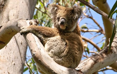 Australia's Koalas Need Your Help