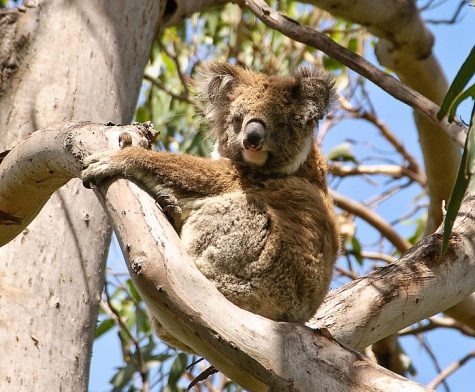 An Australian Koala hangs out in a tree on February 4, 2010. Due to the 2019-2020 bushfires which have claimed lives and destroyed over 12 million acres of land as of January 15, 2020, the koalas could become an endangered species.