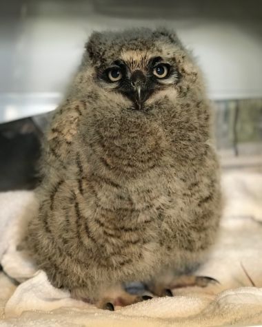 This Great Horned Owl is one of the many wildlife creatures who are taken care of at Tufts Wildlife Clinic. The owl spent the week of April 12, 2020 at the Clinic in North Grafton, Massachusetts.
